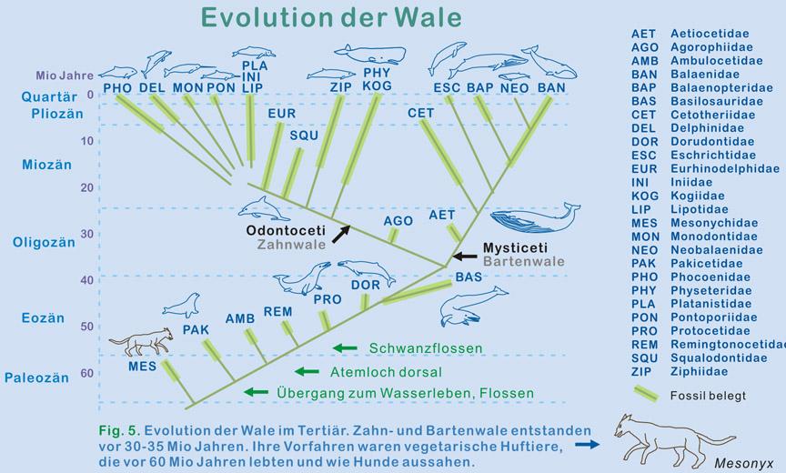 Fig 2 evolution der wale im tertiär zahn und bartenwale